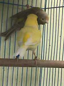 Canaries!!!! Moving and would like these birds gone...