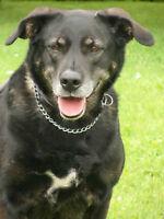 Labrador croisé recherche nouvelle famille (Kelly) !