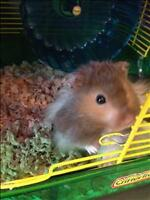 "Young Male Small & Furry - Hamster: ""Oreo"""