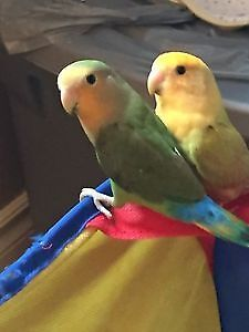 Two Baby Lovebirds with Cage and More!