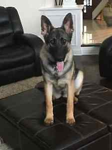 Dog German Shepherd Female Pure - Chien Berger Allemand Pur