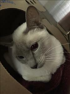"Adult Female Cat - Siamese: ""White"""