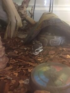 3 Year Old Ball Python with Full-size cage
