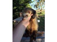 2 boy ferrets