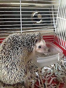 2 adult hedgehogs for sale!