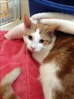 "Young Male Cat - Domestic Short Hair: ""Orell"""