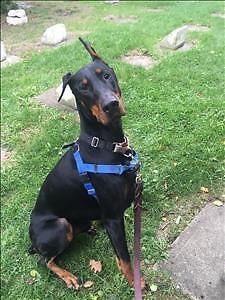 "Adult Male Dog - Doberman Pinscher: ""Rocko"""