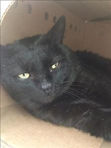 "Adult Male Cat - Domestic Short Hair: ""Bear"""