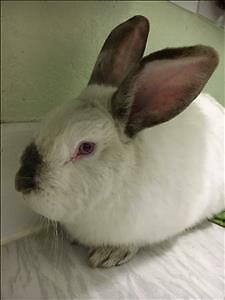 "Adult Male Rabbit - Californian: ""Cadbury"""