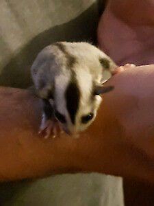 Looking for a sugar glider.