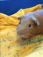 """Young Male Small & Furry - Guinea Pig: """"Cole"""""""