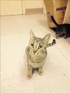 "Adult Female Cat - Domestic Short Hair: ""Pepper"""