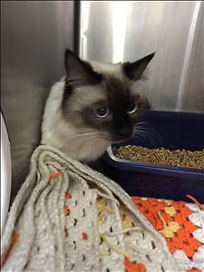 "Young Female Cat - Siamese: ""Kiki"""