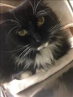 "Adult Female Cat - Domestic Long Hair: ""Miss Meow"""