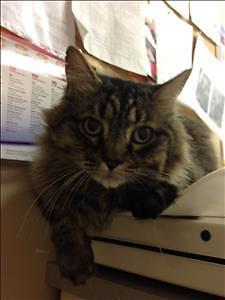 "Senior Male Cat - Domestic Medium Hair: ""Karo"""
