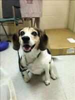 "Adult Male Dog - Beagle: ""Ozzie"""