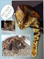 LEOPARD BENGALS CUBS WITH OUTSTANDING QUALITY FOR SALE
