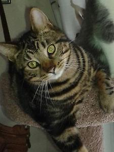 "Young Male Cat - Tabby - Brown: ""Coco"""