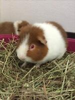 """Adult Male Small & Furry - Guinea Pig: """"Buggy"""""""