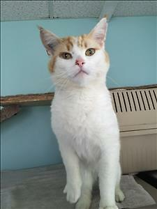 "Adult Male Cat - Domestic Short Hair: ""Handsome"""