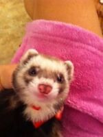 FERRET AND THREE STOREY CAGE FOR SALE