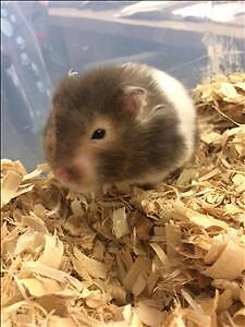 "Young Female Small & Furry - Hamster: ""Cheerio"""