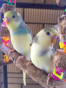 Hand raised super friendly FANCY BUDGIE BABIES