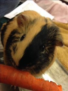"Young Male Small & Furry - Guinea Pig: ""Skittles"""
