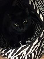 "Adult Female Cat - Domestic Short Hair: ""Houdini"""