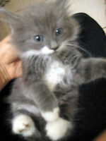 7 weeks persian/chartreux female grey white long hair kitten