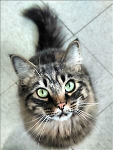"Young Male Cat - Domestic Long Hair: ""Jordan"""