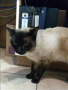 "Adult Male Cat - Siamese: ""Lucky"""