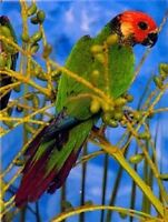 Rose-fronted Conures