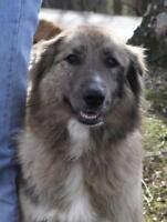 "Young Male Dog - Australian Shepherd: ""Boss"""