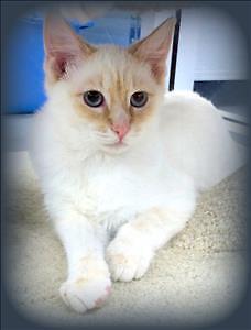 "Baby Male Cat - Domestic Short Hair: ""Xander"""