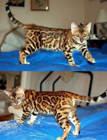 WANT TO BUY ROSETTED BENGAL