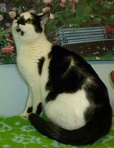 "Adult Male Cat - Domestic Short Hair: ""M/C - 03 Zoro"" London Ontario image 2"