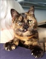 """Young Female Cat - Domestic Short Hair: """"Amber"""""""