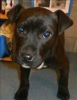 "Baby Female Dog - Labrador Retriever-Pit Bull Terrier: ""Ant"""