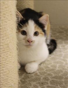 "Baby Female Cat - Domestic Short Hair: ""Liz"""