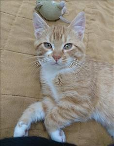 "Baby Male Cat - Domestic Short Hair: ""Charlie"""