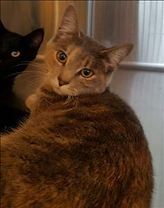 """Young Female Cat - Domestic Short Hair: """"Christine"""""""