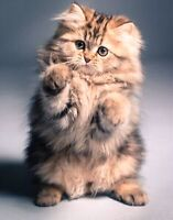 Looking for a  Fluffy kitten