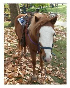 Pony Rides for your Event