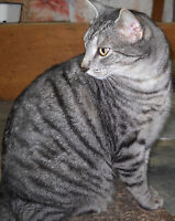 Chat tabby gris