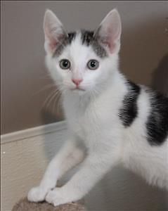 """Baby Male Cat - Domestic Short Hair: """"Paxton"""""""