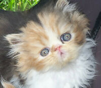 CFA registered Persian kittens