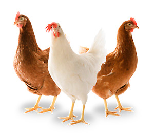 Chickens Poule pondeuse