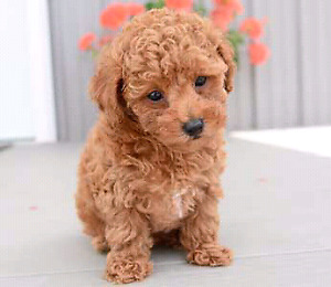 Image Result For Teddy Bear Faced Poodles For Sale