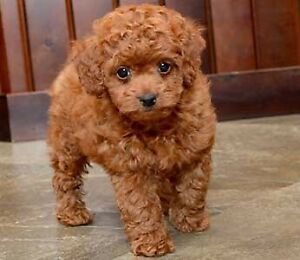 Looking for a Toy Poodle or Yorkiepoo puppy